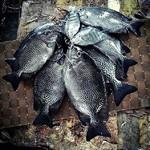 @instagram: Monsoon catch???? #siolim #Siolkar #ilovemysiolim