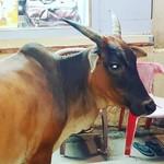 @instagram: Коровы, они и в Индии коровы???? #cavelossim #india #shicara #отпуск2019???????? #март2019